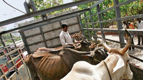 You will be killed if you smuggle or slaughter cows: BJP MLA