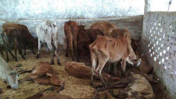 200 cows die of starvation at a shelter run by BJP leader