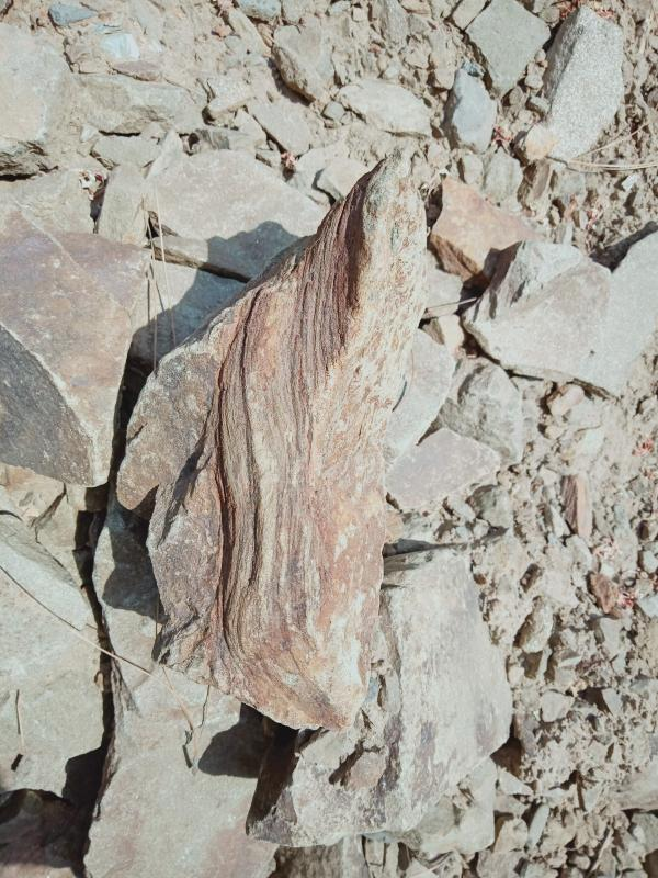 20 million years old tree fossil found in Kasauli