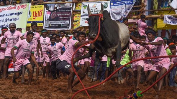 Jallikattu: 19-year-old gored to death by bull, 28 Injured