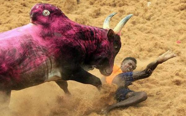 Why India's bull-taming protest may not be just about bulls