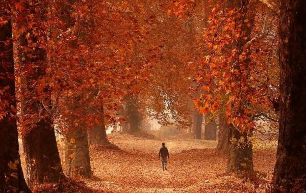This year too the Chinar will turn Red
